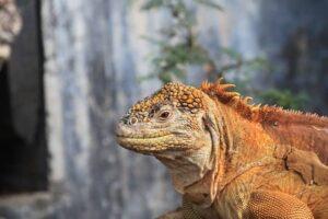 Iguana amarilla