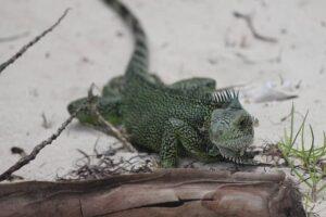 Iguanas pequeñas