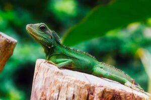 Iguana bebe