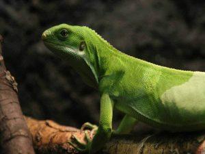 Género Brachylophus