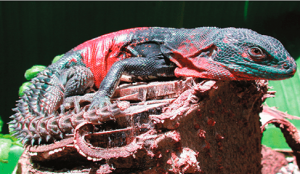 Ctenosaura Alfredschmidti