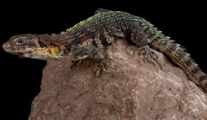 Ctenosaura Flavidorsalis