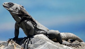 Ctenosaura Melanosterna