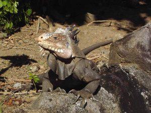 Género Iguana