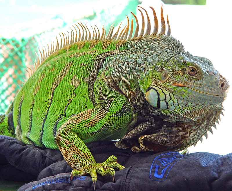 Género Iguana Iguana