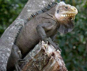 Género Iguana Delicatissima