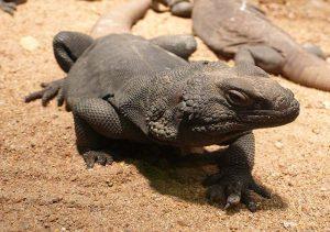 iguana Sauromalus ater Duméril