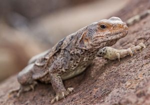 iguana Sauromalus Australis Shaw