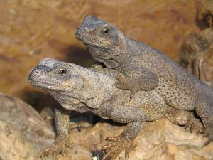 iguana Sauromalus Hispidus Stejneger