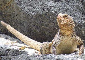 iguana Sauromalus slevini Van Denburgh